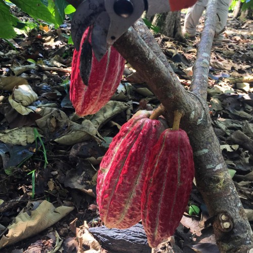 "Giving the cacao trees a little ""podcure"""