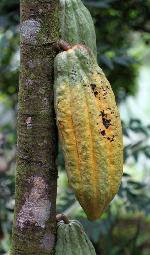More beautiful colours on the cacao pods
