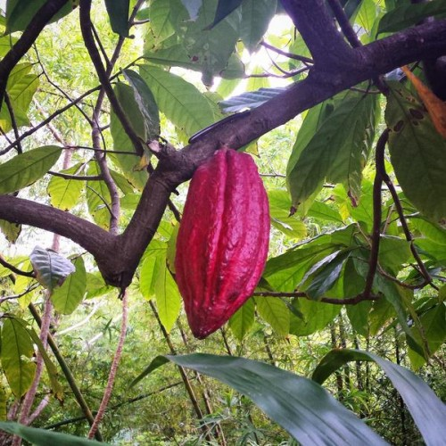 One of the many stunning pods on the Grenada Hash in the cocoa fields