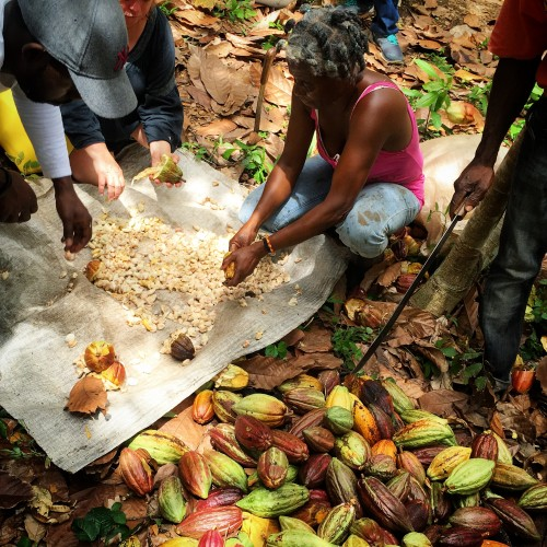 Harvesting cacao with the farmers at Crayfish Bay