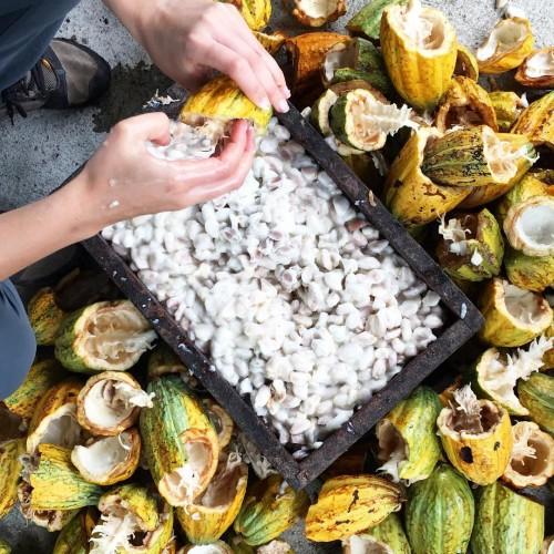 Harvesting cacao for a micro fermentation