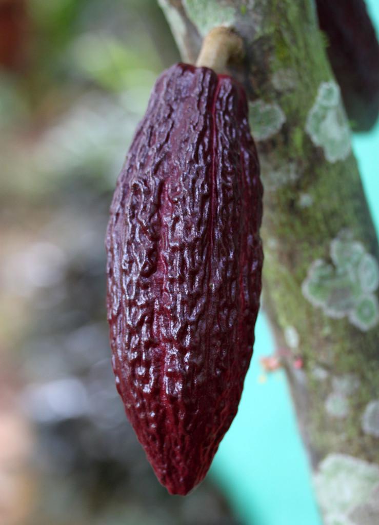 Stunning purple cacao pod