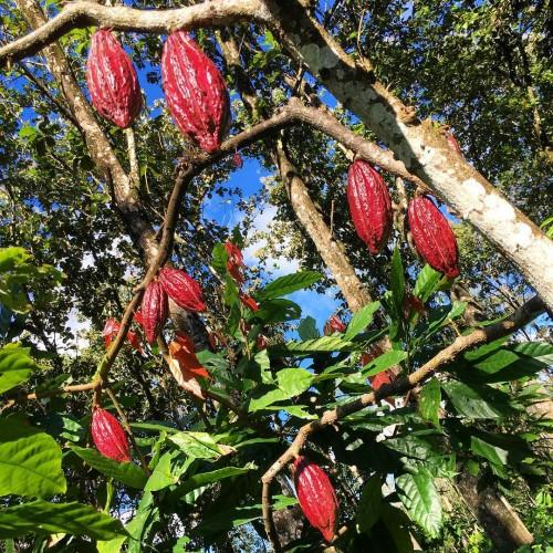 Sunbathing cacao at Hacienda Rio Dulce