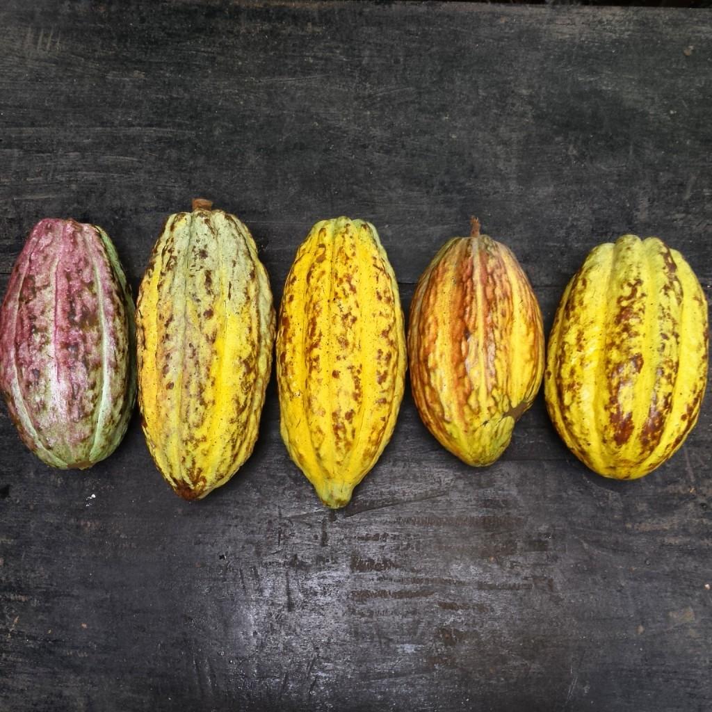 Fresh cocoa pods