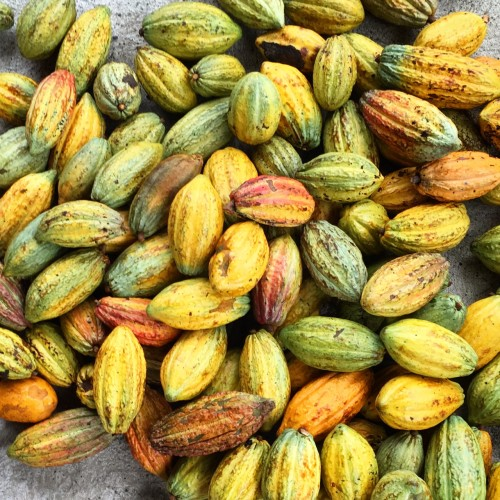 Cocoa pods ready for a micro fermentation