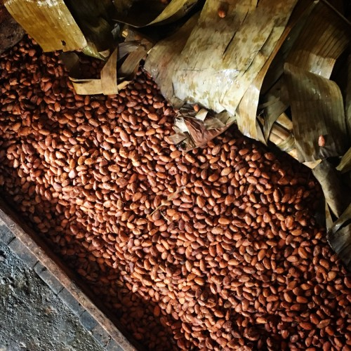Fermented cacao ready for drying